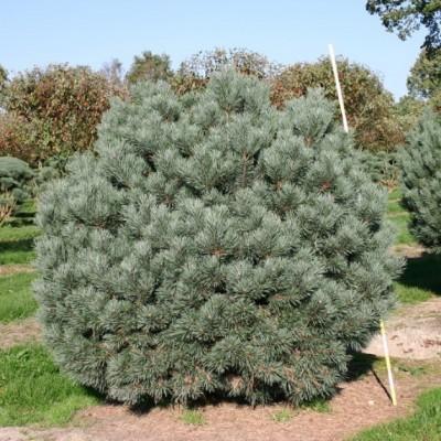 Сосна обыкновенная Watereri C4 H25-35 см