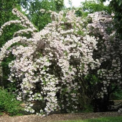 Вейгела цветущая Candida C1,5 H30-40 см