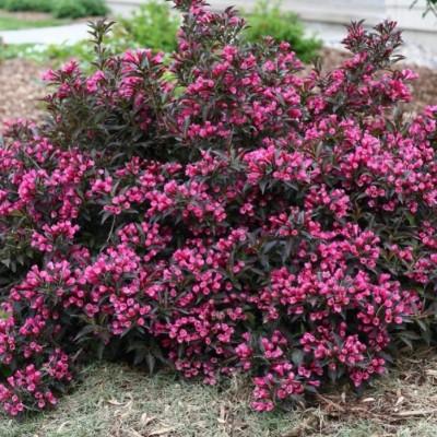 Вейгела цветущая Nana Purpurea C1,5 H20-30 см