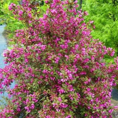 Вейгела цветущая Victoria C1,5 H20-40 см