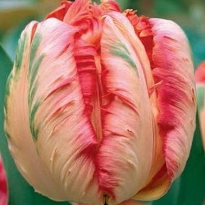 Тюльпан Apricot Parrot 7 шт/уп.