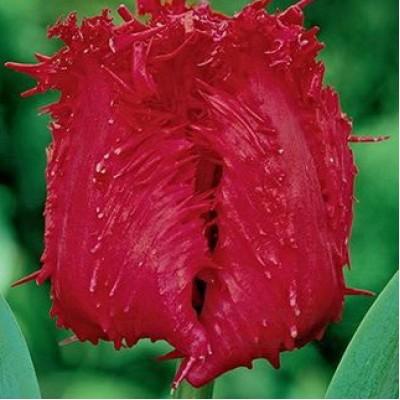 Тюльпан Barbados 5 шт/уп.