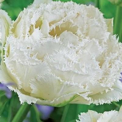 Тюльпан Snow Crystal 5 шт/уп.