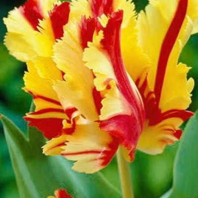 Тюльпан Flaming Parrot 7 шт/уп.