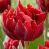 Тюльпан Red Princess 3 шт/уп.