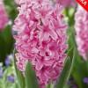 Гиацинт Pink Pearl 3 шт/уп.