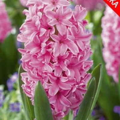 Гиацинт Pink Pearl 5 шт/уп.