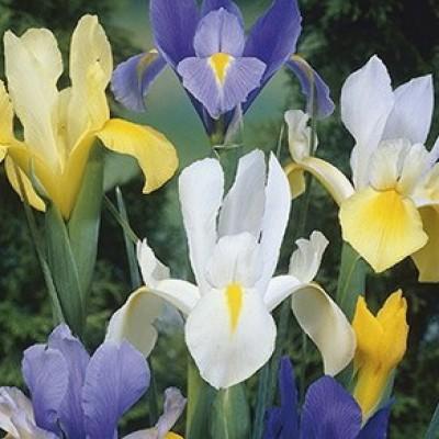 Ирис Голландский Iris Hollandica Mix 8 шт/уп.