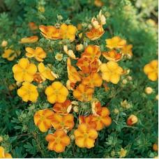 Лапчатка кустарниковая Tangerine C1,4 H25-30 см