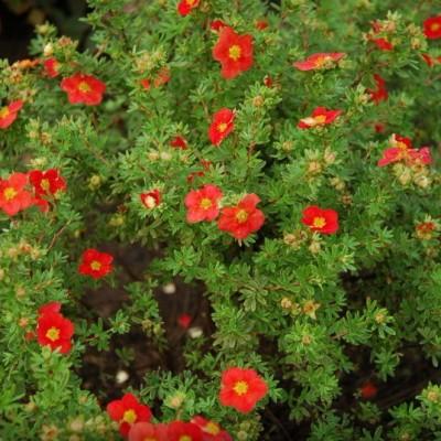 Лапчатка кустарниковая Ред Айс C1,5 H20-40 см